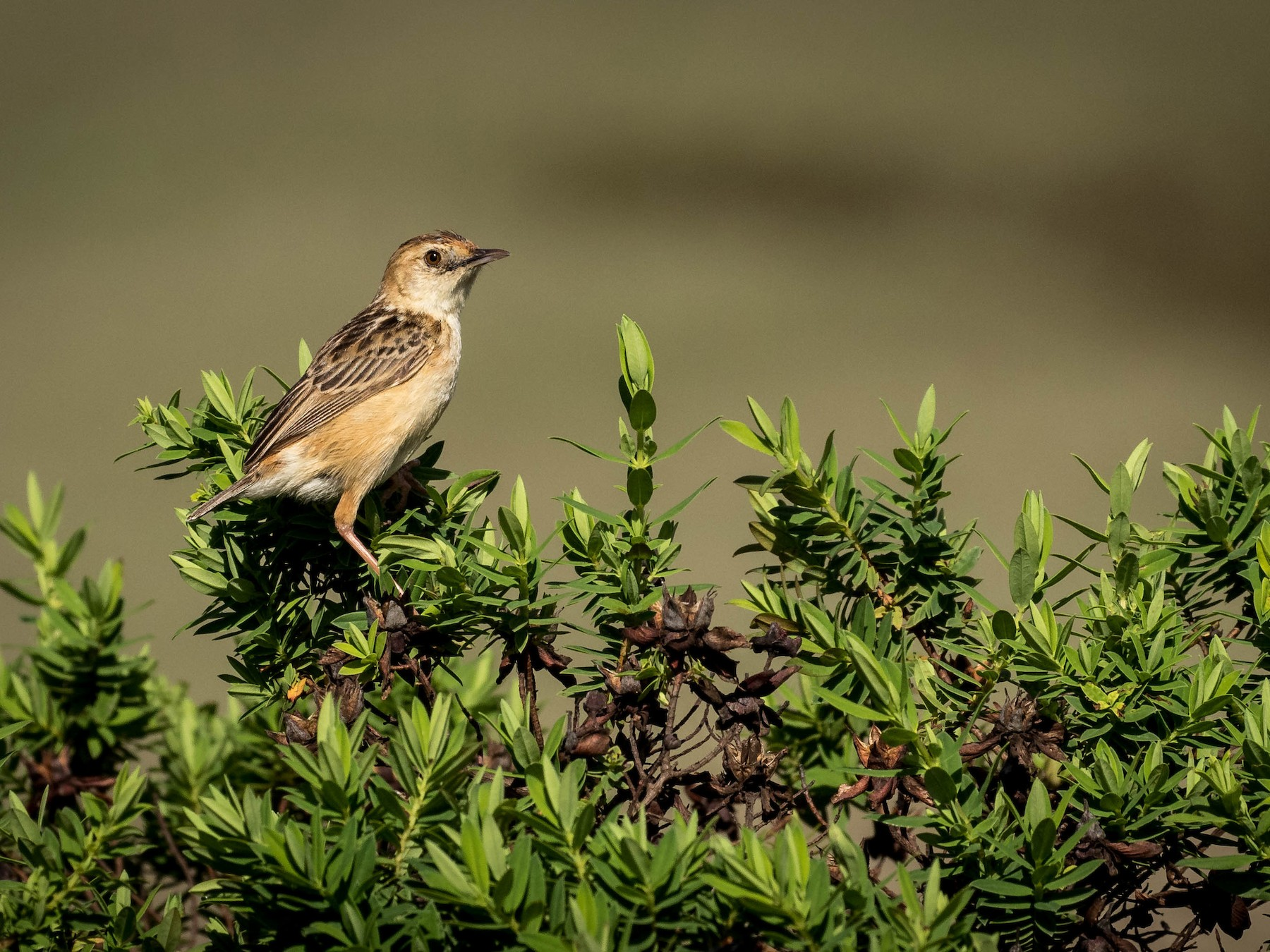 Wing-snapping Cisticola - Michael Riffel