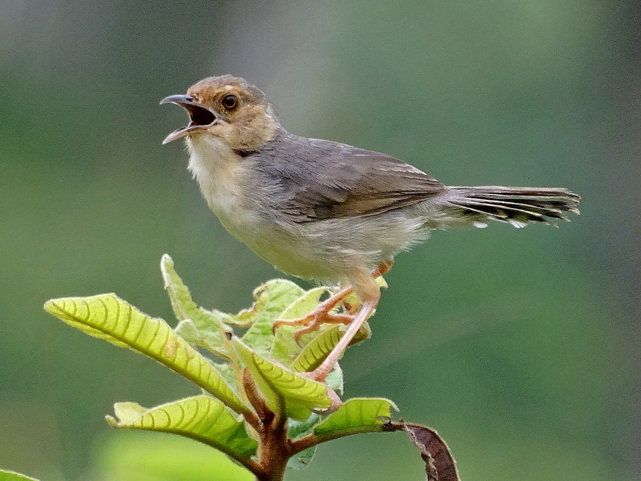 Red-faced Cisticola - Jens Thalund
