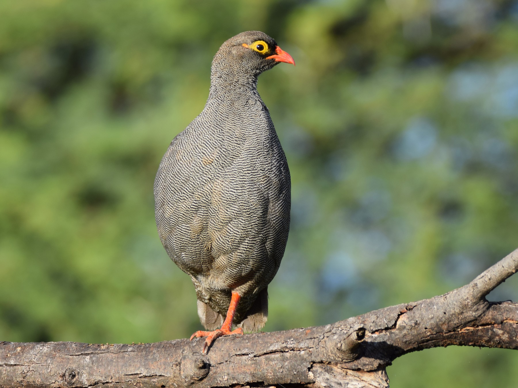 Red-billed Francolin - Ryne Rutherford