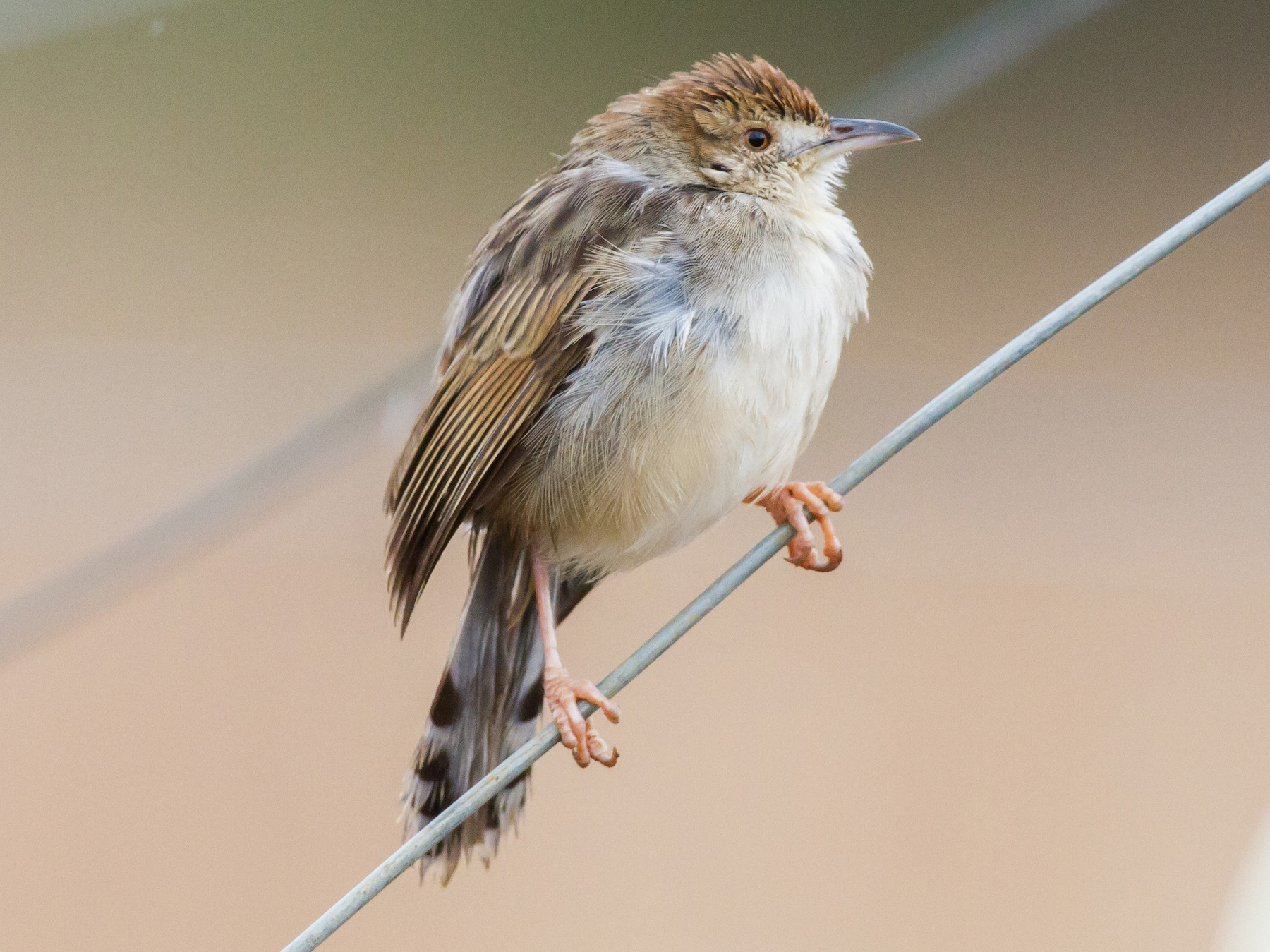 Rattling Cisticola - Chris Sayers