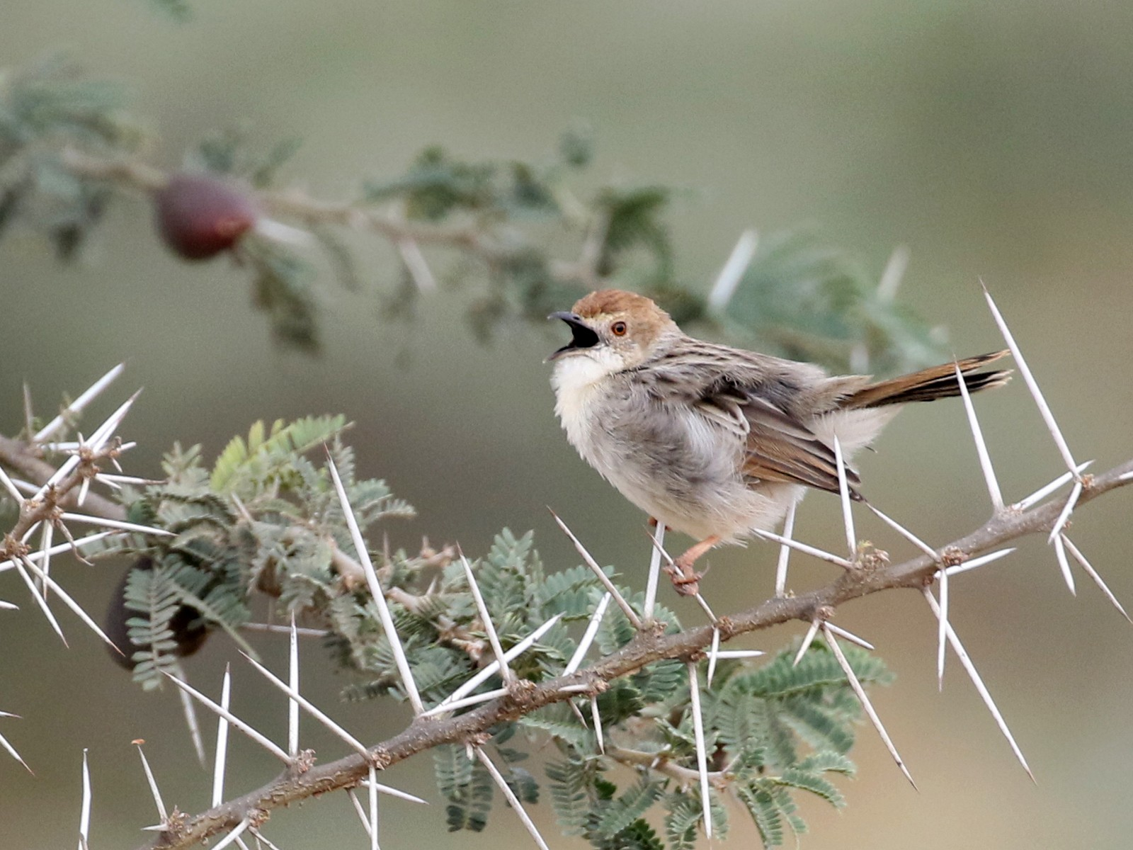 Rattling Cisticola - Charley Hesse