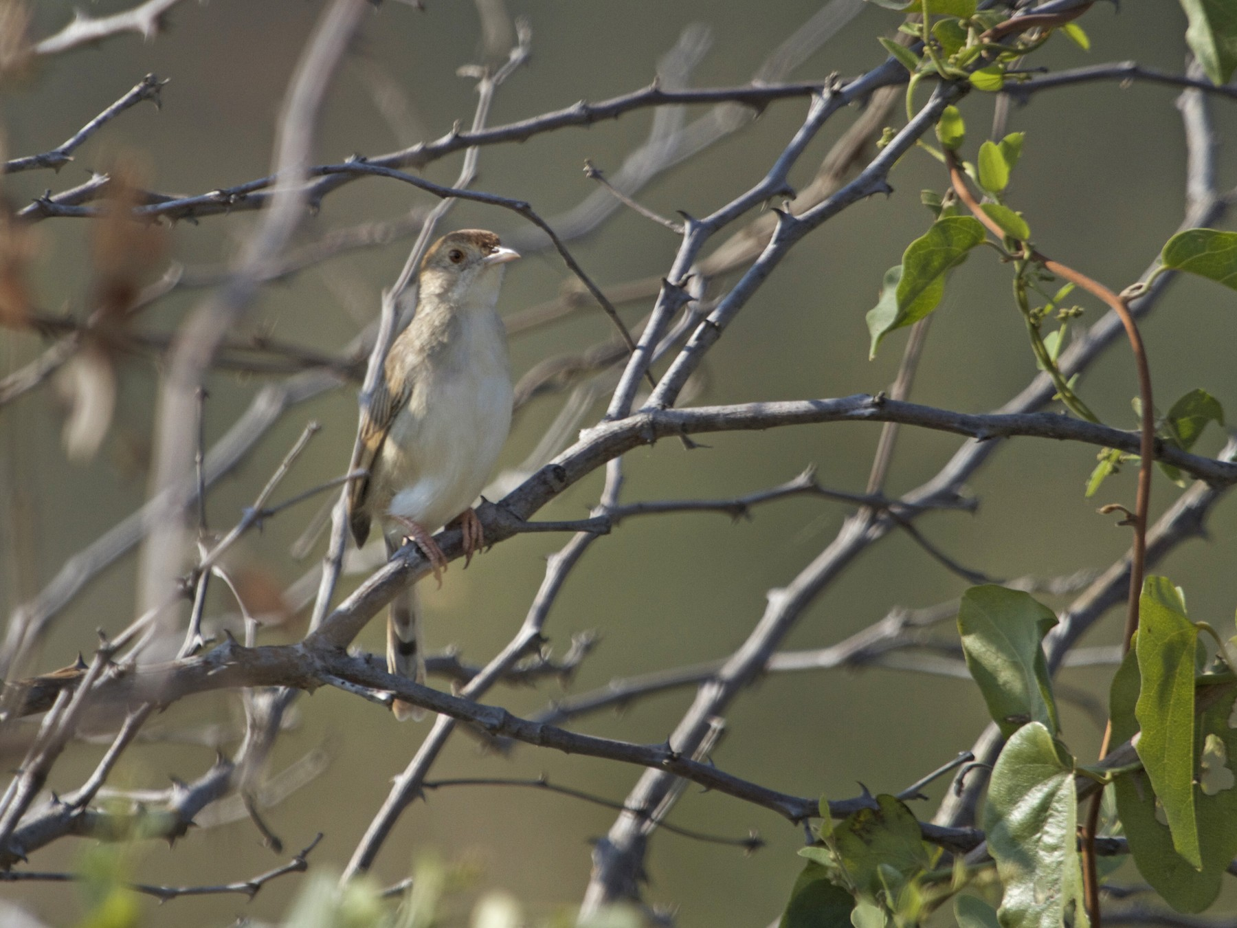 Piping Cisticola - Will Sweet