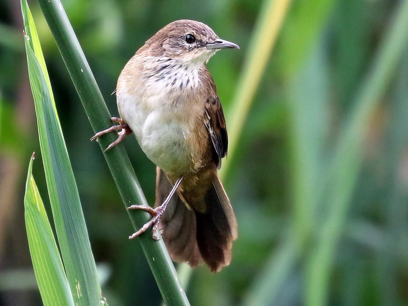 Little Rush-Warbler - Andrew Spencer