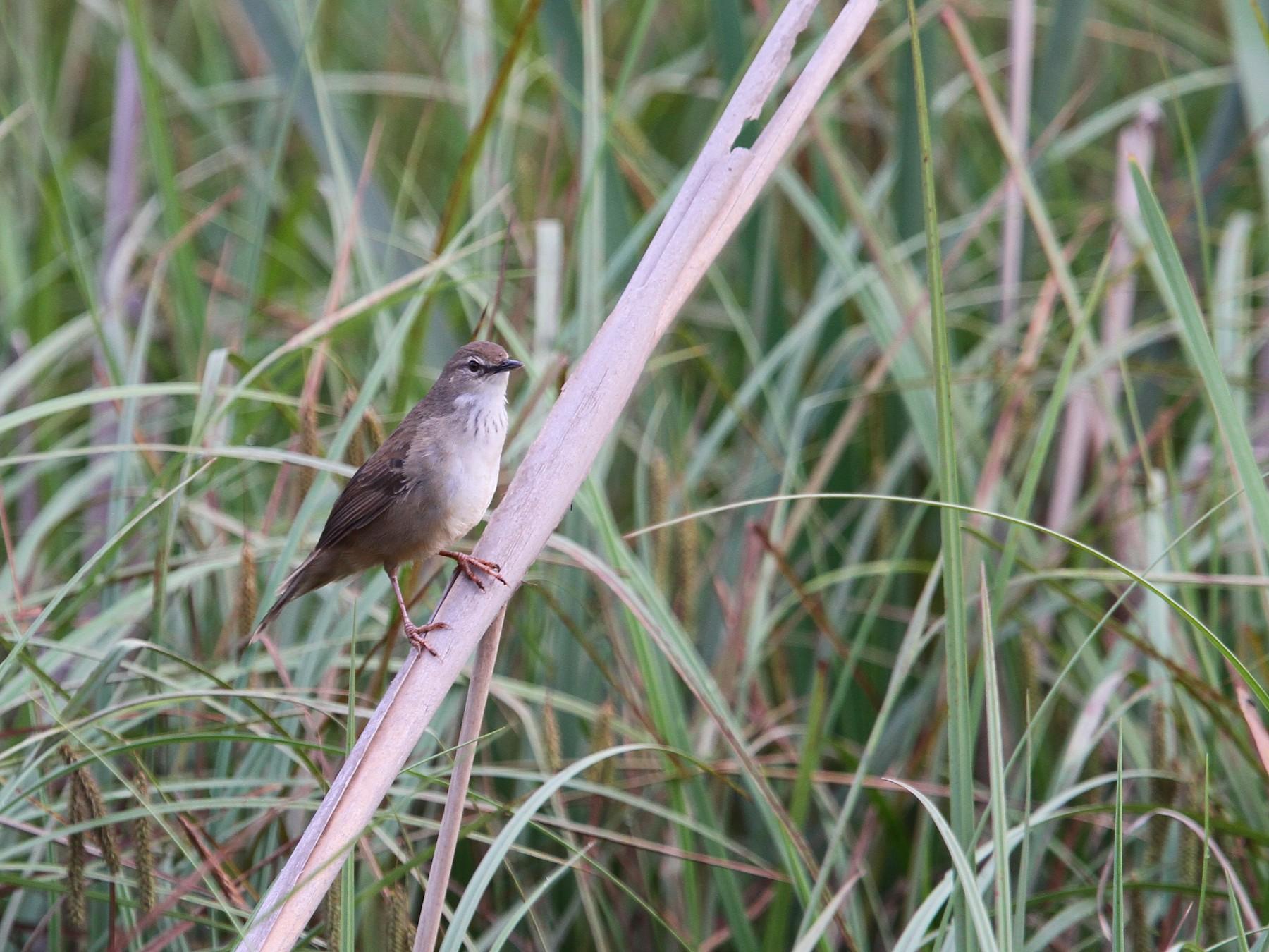 Little Rush-Warbler - Christoph Moning