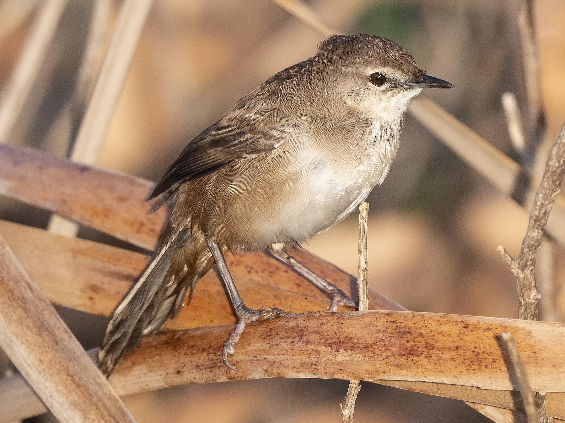 Little Rush-Warbler - Peter Hawrylyshyn