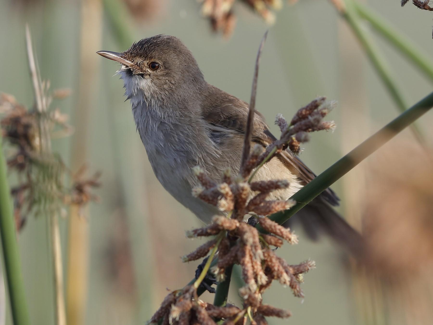 Little Rush-Warbler - Holger Teichmann