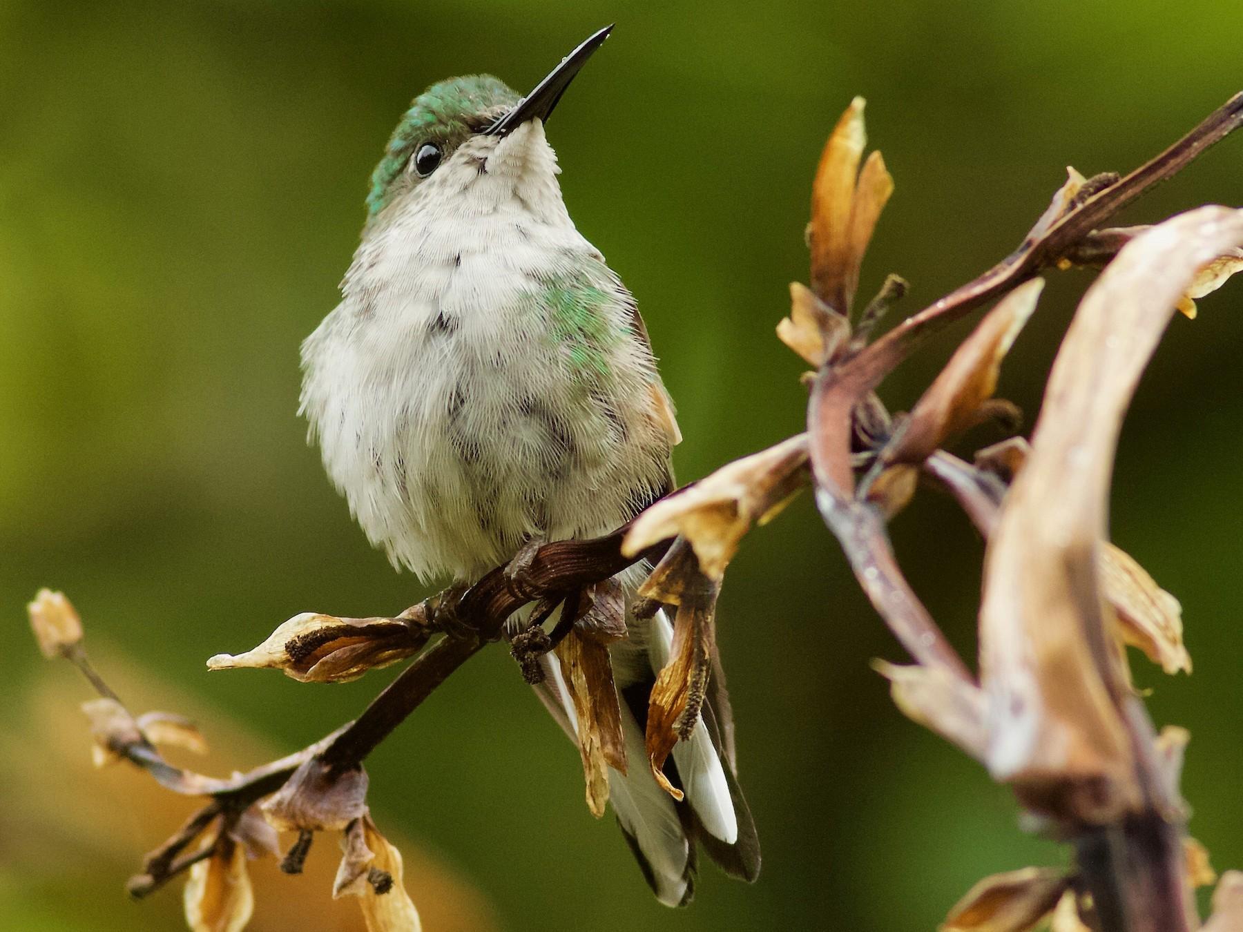 Stripe-tailed Hummingbird - Doug Cooper