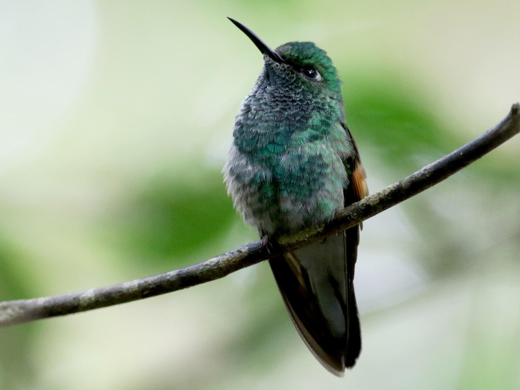 Stripe-tailed Hummingbird - Jay McGowan