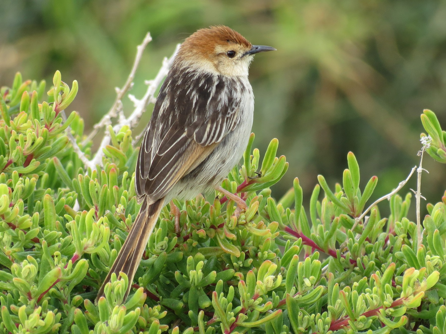 Levaillant's Cisticola - Simon Bradfield