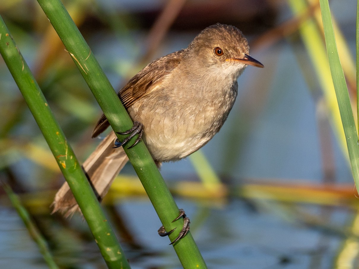 Lesser Swamp Warbler - Forest Jarvis