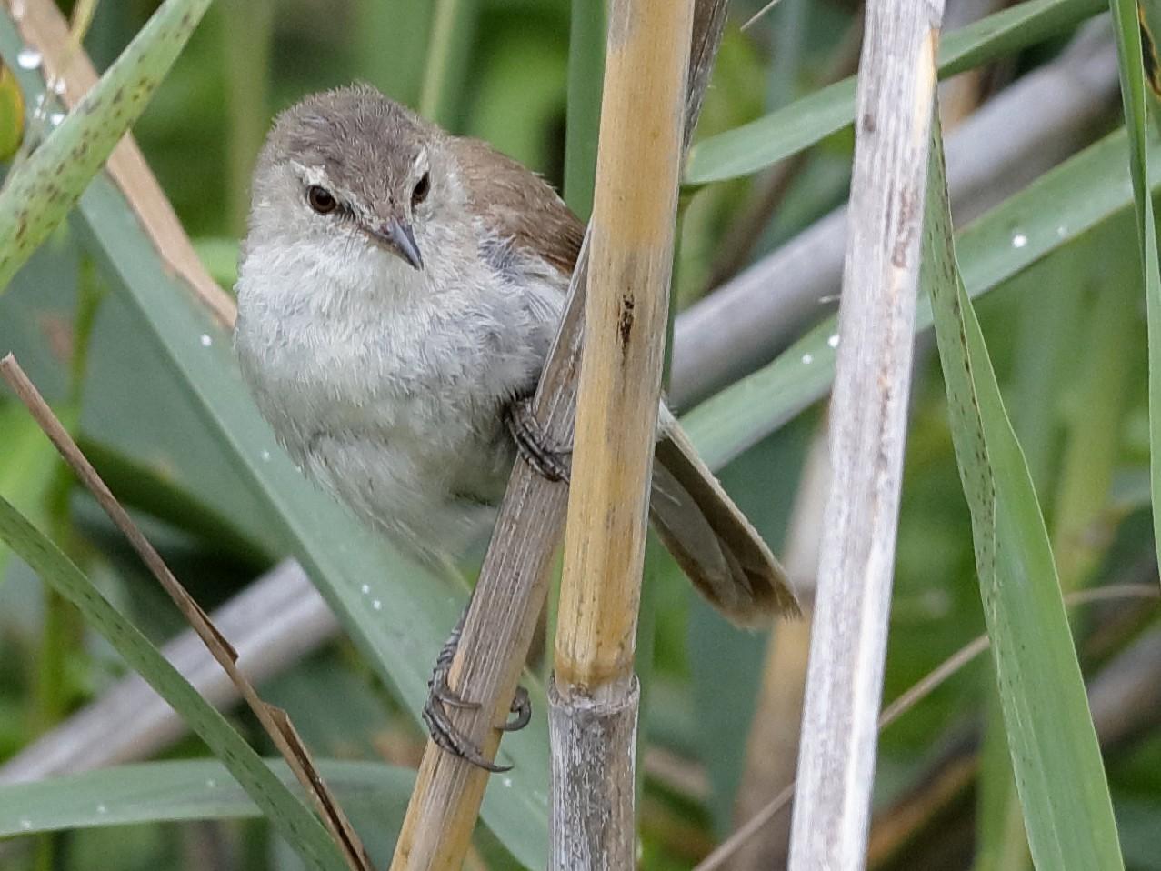 Lesser Swamp Warbler - Holger Teichmann