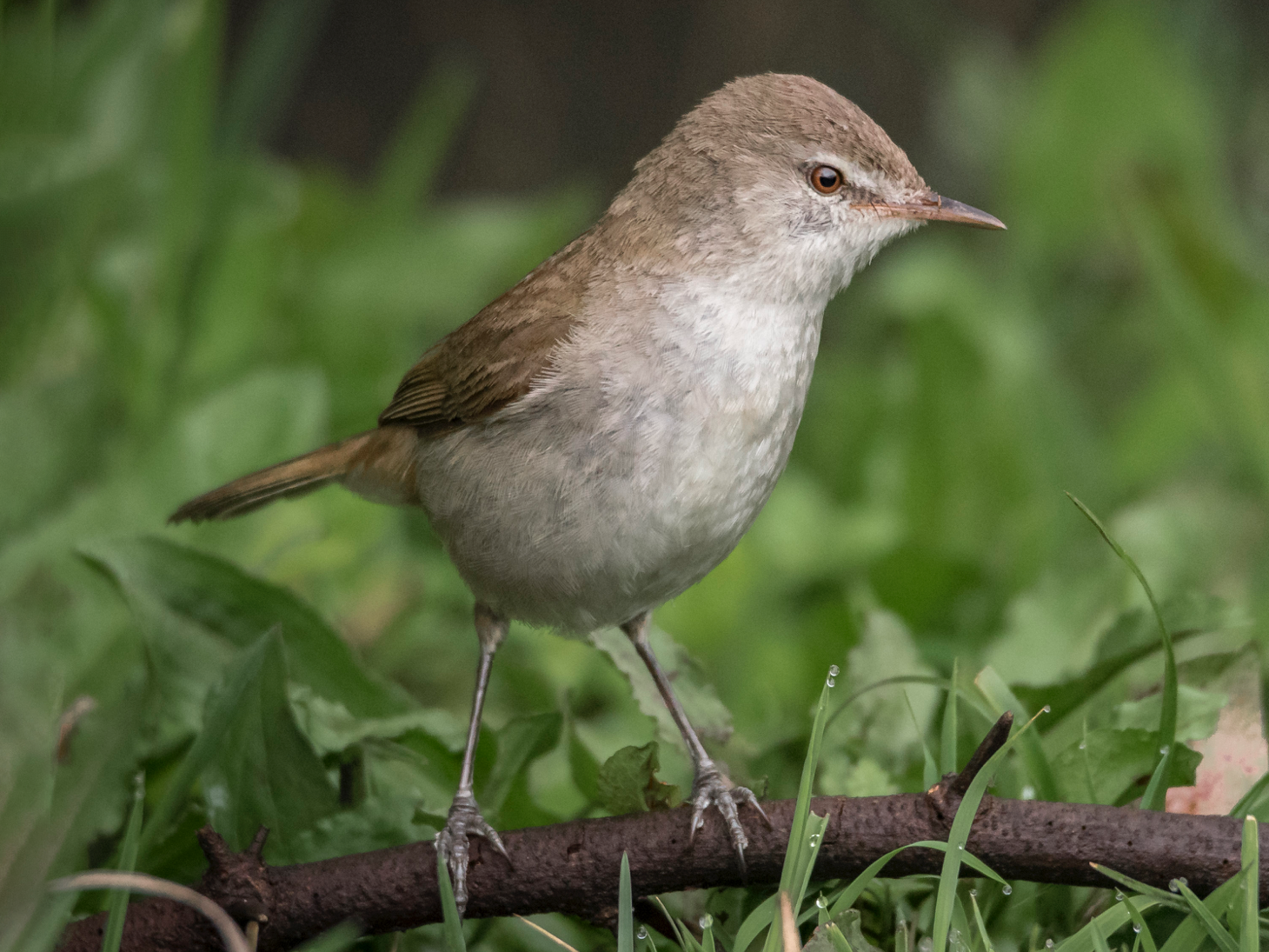 Lesser Swamp Warbler - Alistair Routledge