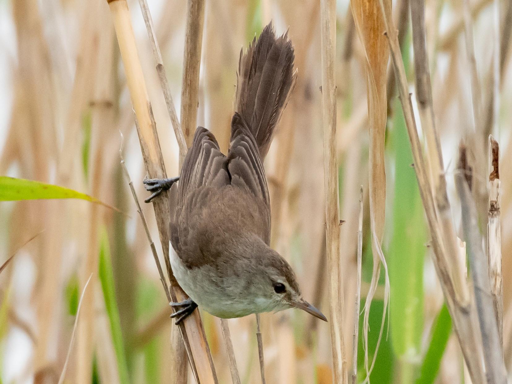 Lesser Swamp Warbler - Hank Davis