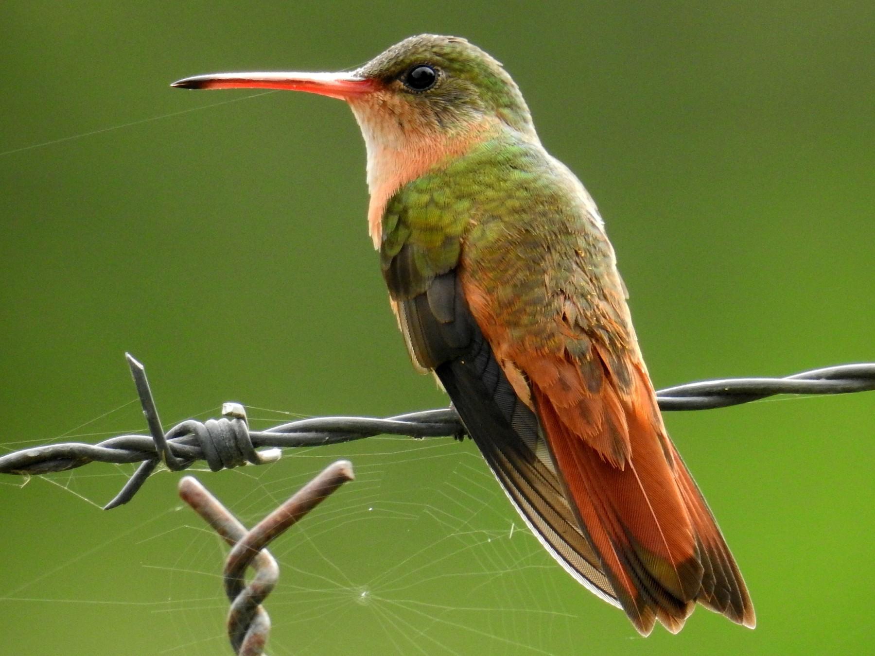 Cinnamon Hummingbird - Oscar Rolando Suazo Ortega