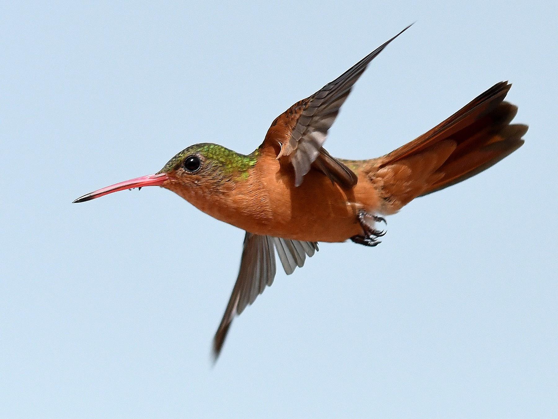Cinnamon Hummingbird - Jesse Anderson