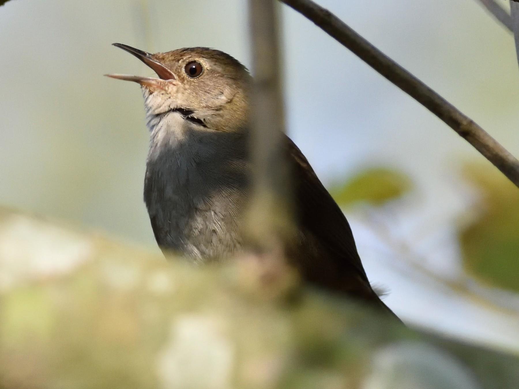 Knysna Warbler - Clayton Burne
