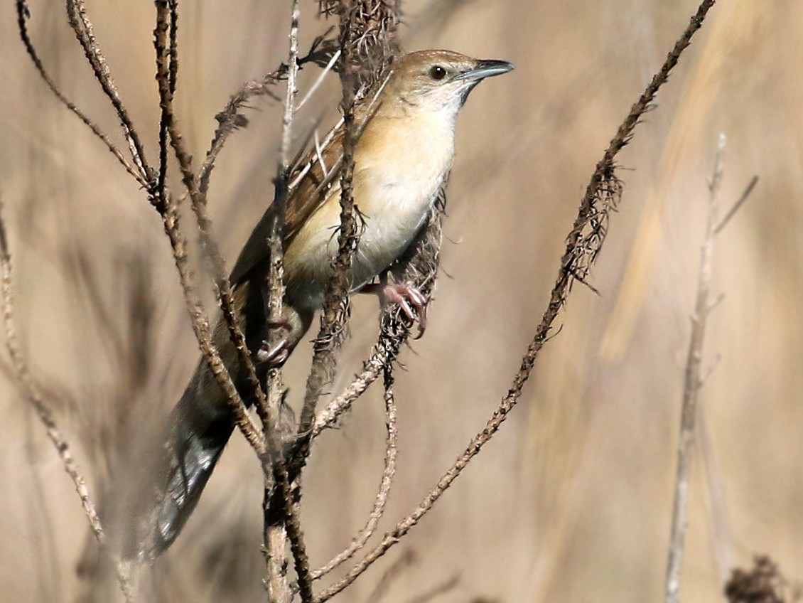Fan-tailed Grassbird - Andrew Spencer
