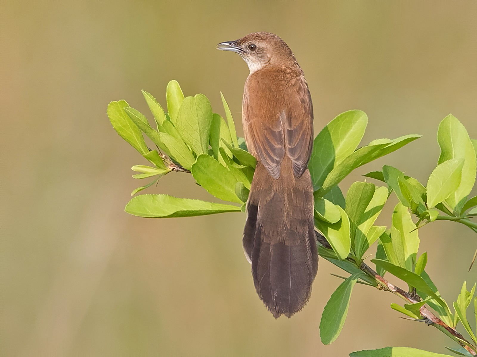 Fan-tailed Grassbird - Niall D Perrins