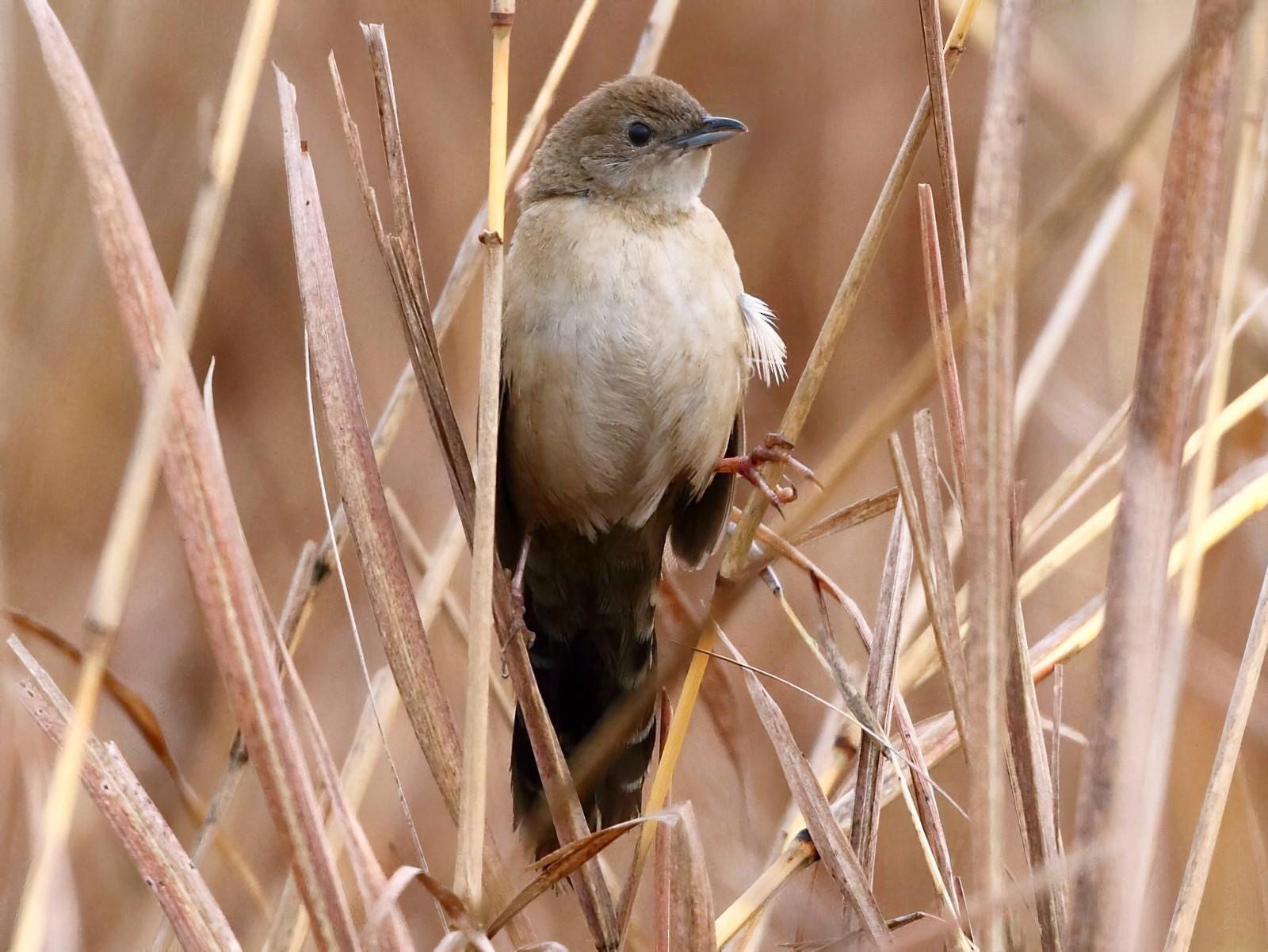 Fan-tailed Grassbird - Markus Lilje