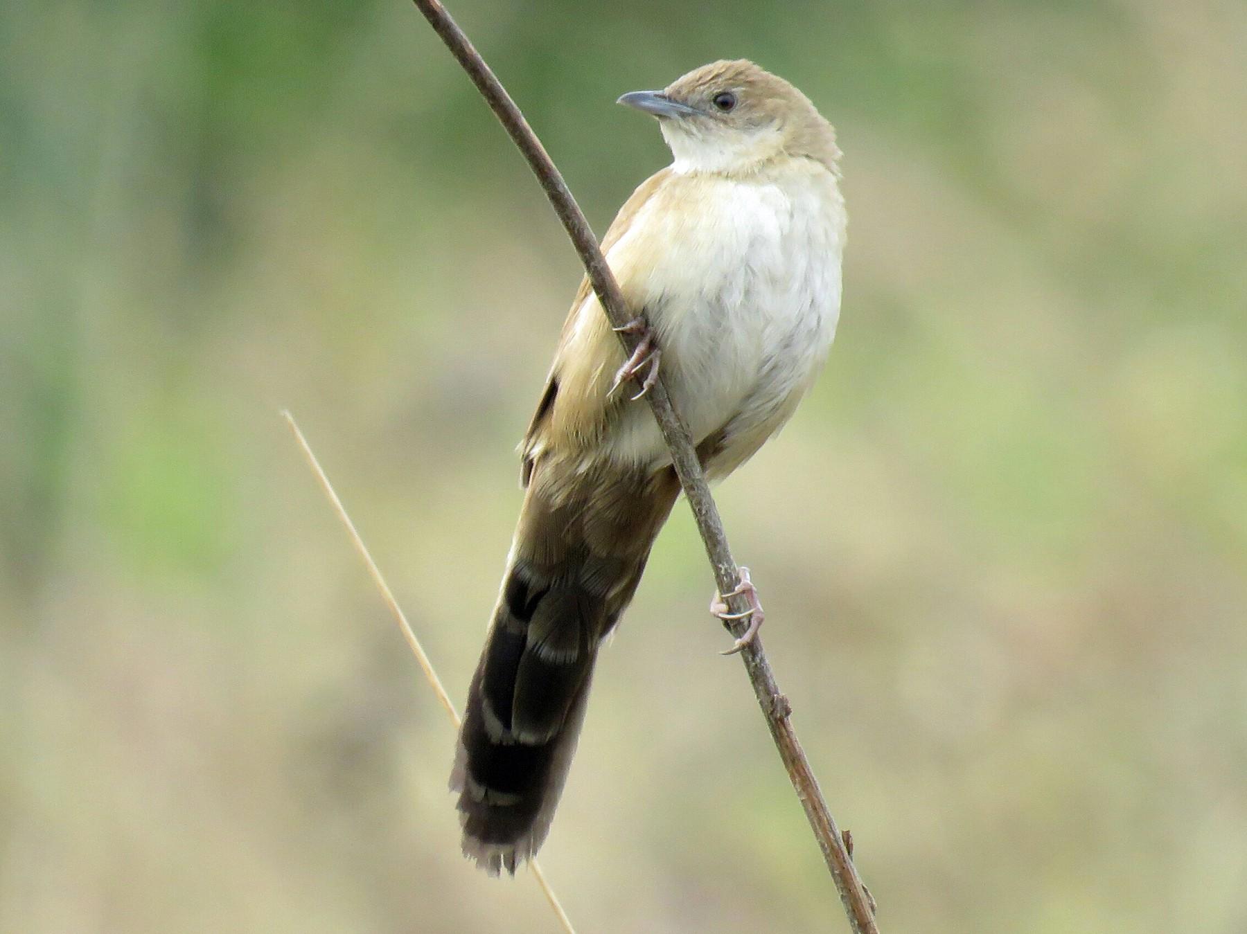Fan-tailed Grassbird - Brad Arthur