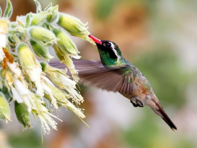 Xantus's Hummingbird - Rolando Chávez