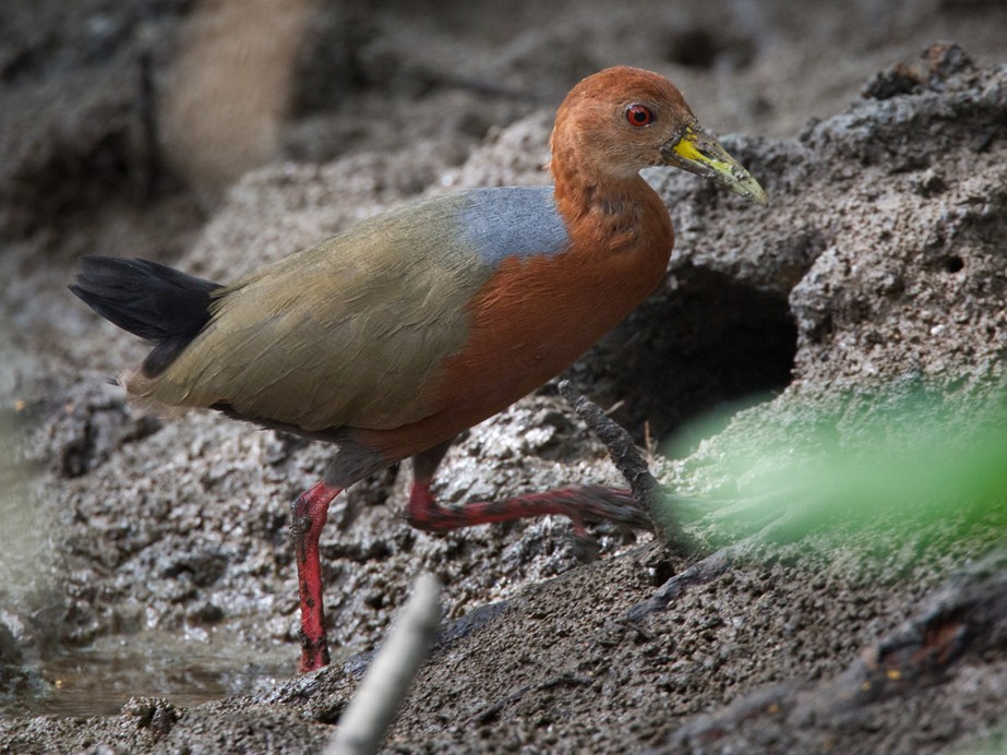 Rufous-necked Wood-Rail - Lars Petersson