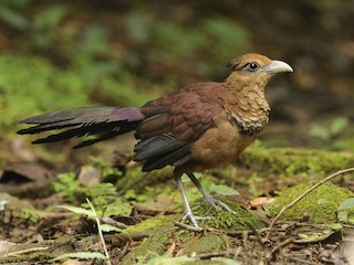 - Rufous-vented Ground-Cuckoo