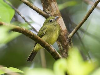 - Green Manakin (Choco)