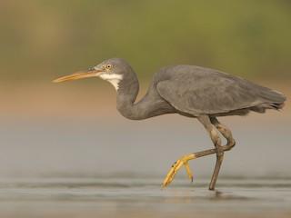 - Western Reef-Heron
