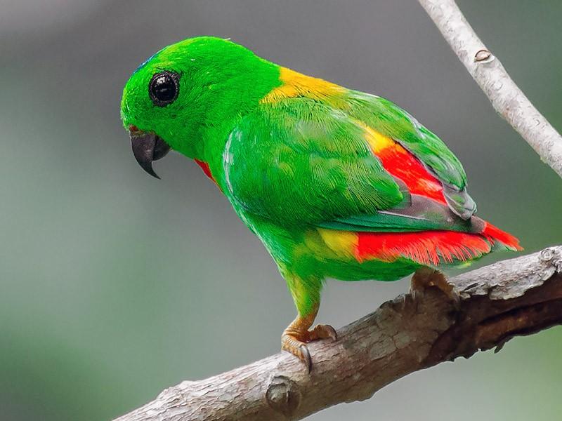 Blue-crowned Hanging-Parrot - Natthaphat Chotjuckdikul