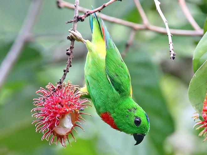Blue-crowned Hanging-Parrot - Stijn De Win