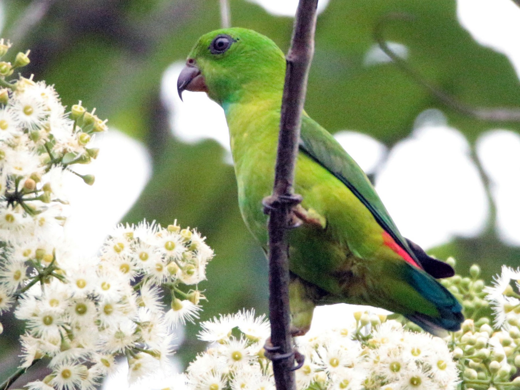Blue-crowned Hanging-Parrot - Fadzrun A.