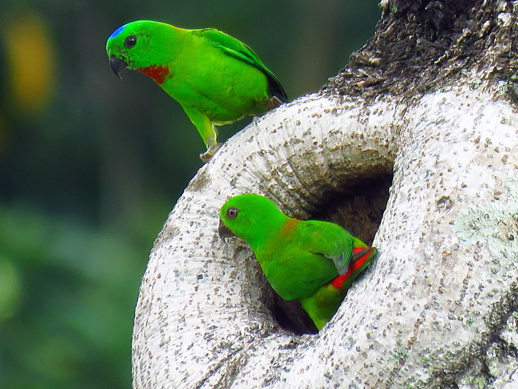 Blue-crowned Hanging-Parrot - Angela Christine Chua