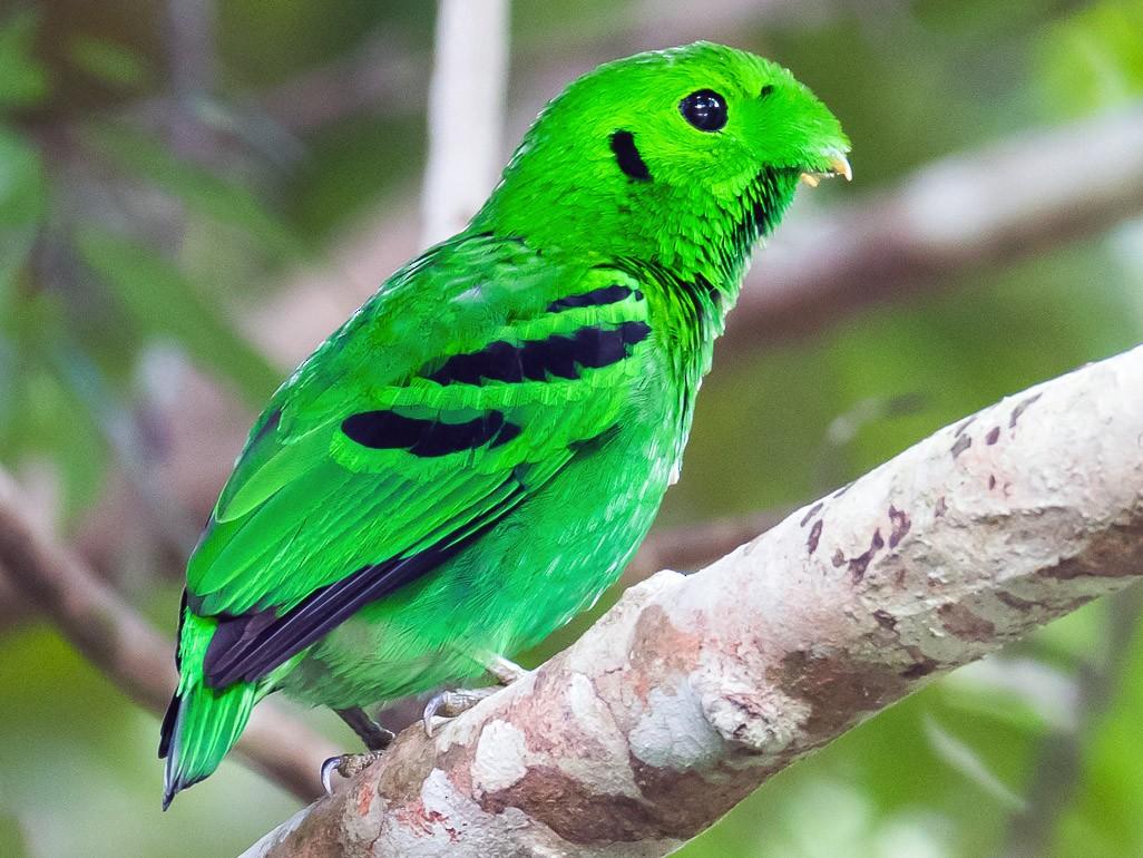 Green Broadbill - Leslie Loh