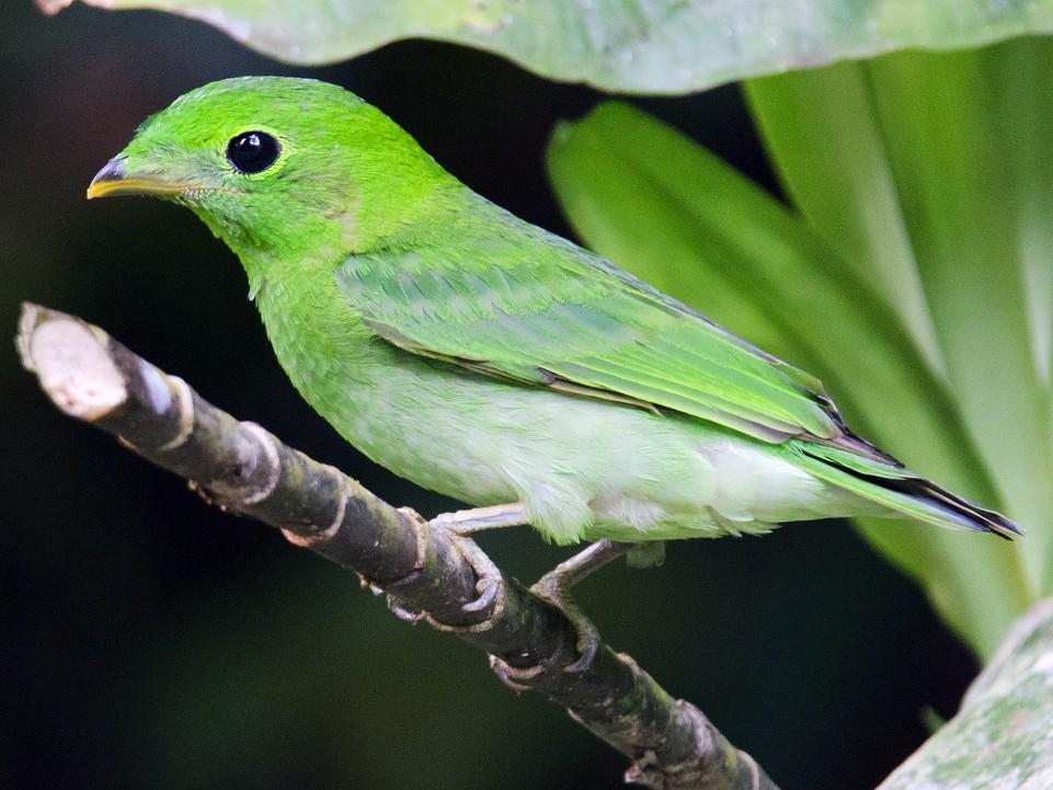 Green Broadbill - Ashraf Anuar Zaini