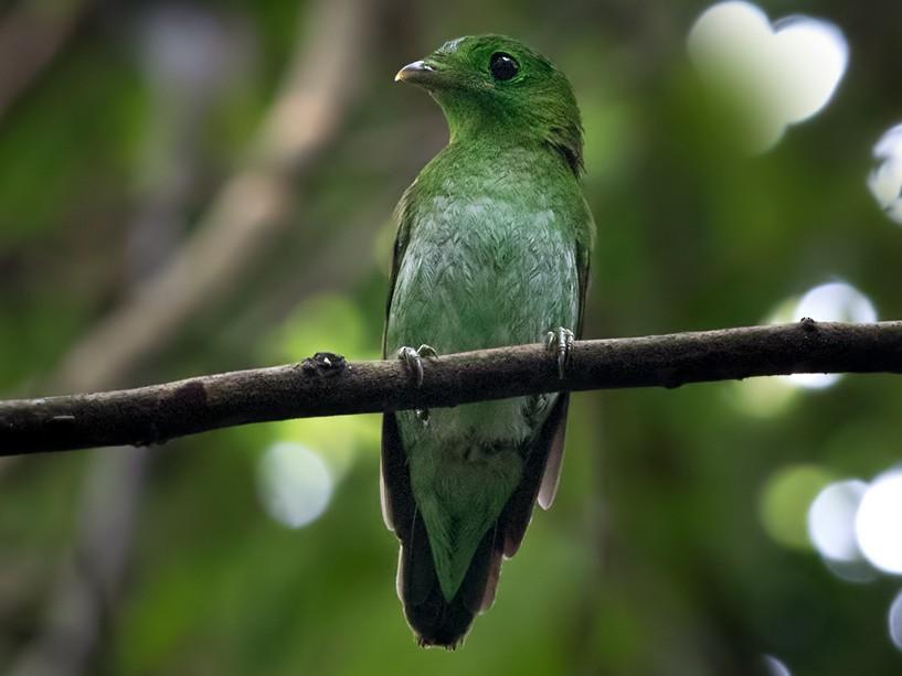 Green Broadbill - Lars Petersson