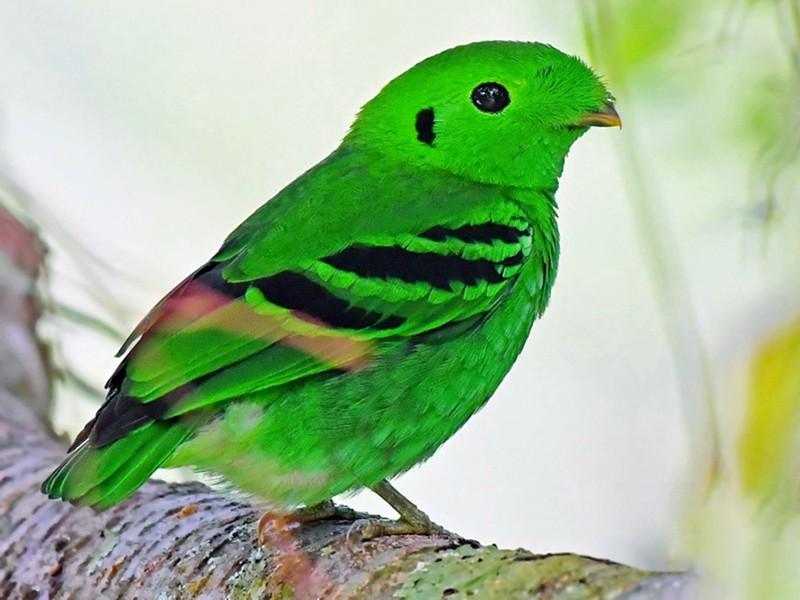 Green Broadbill - Stijn De Win