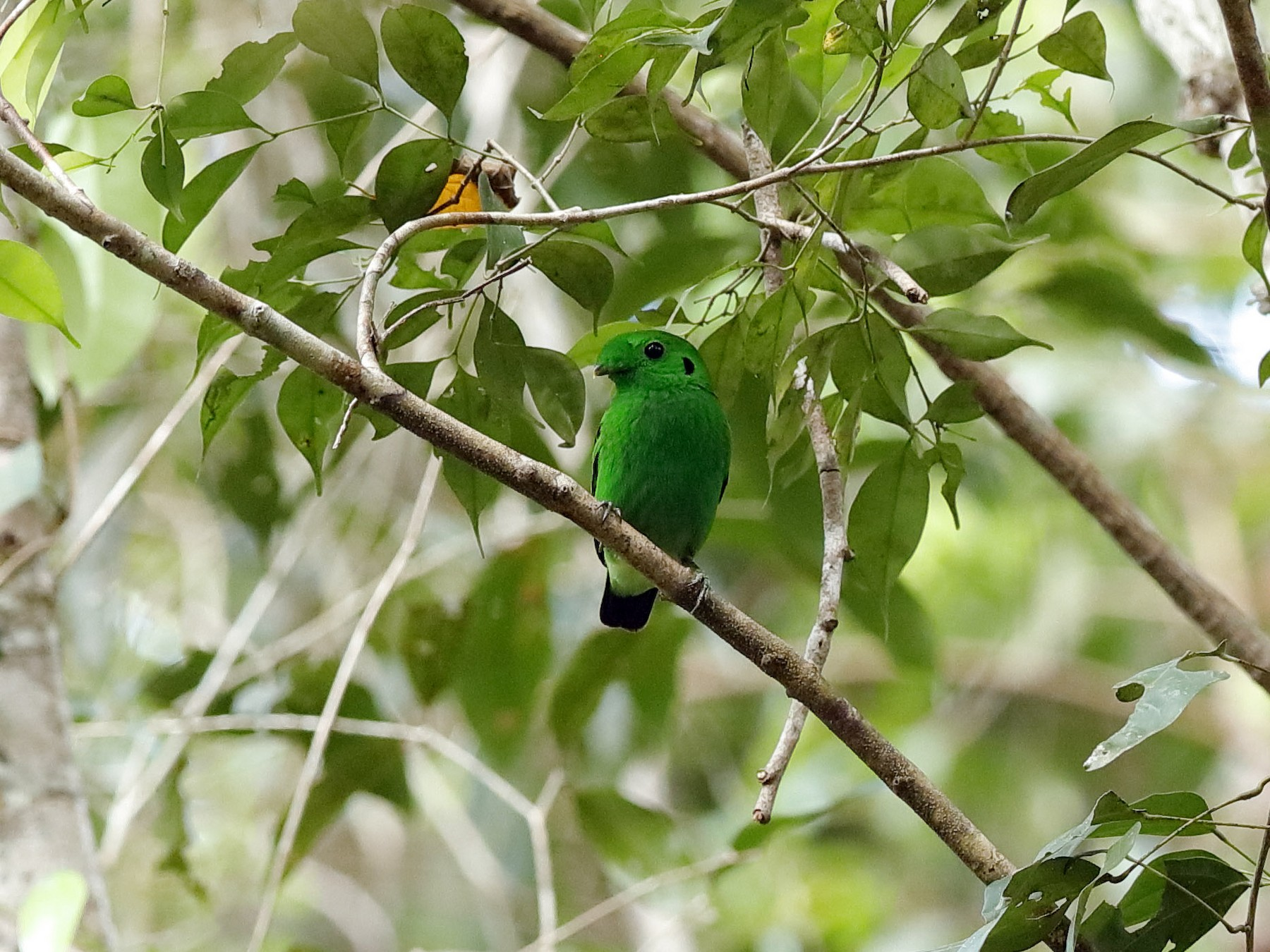 Green Broadbill - Holger Teichmann