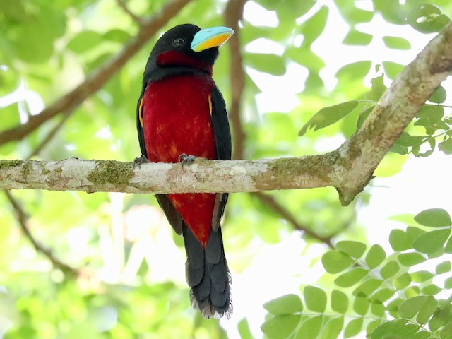 Adult (Black-and-red)