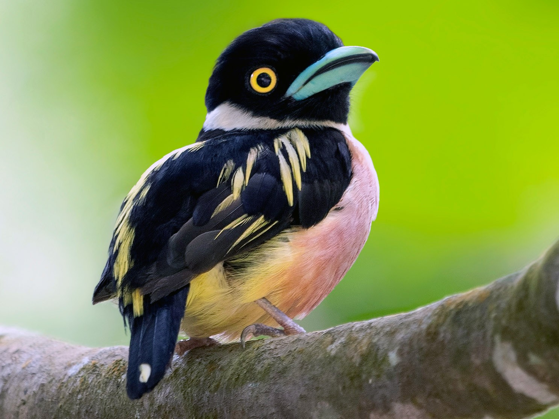 Black-and-yellow Broadbill - Wai Loon Wong