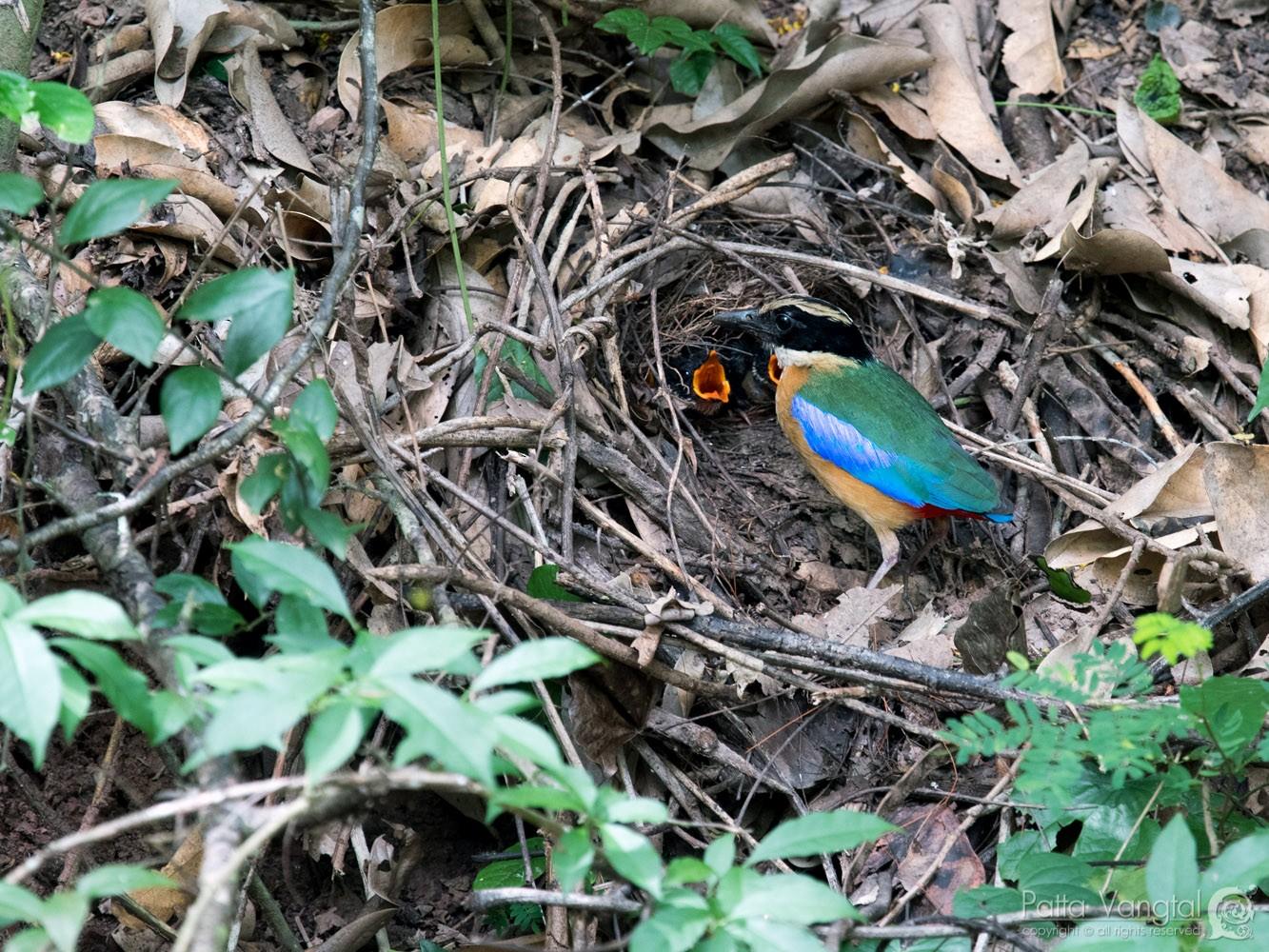 Blue-winged Pitta - Pattaraporn Vangtal