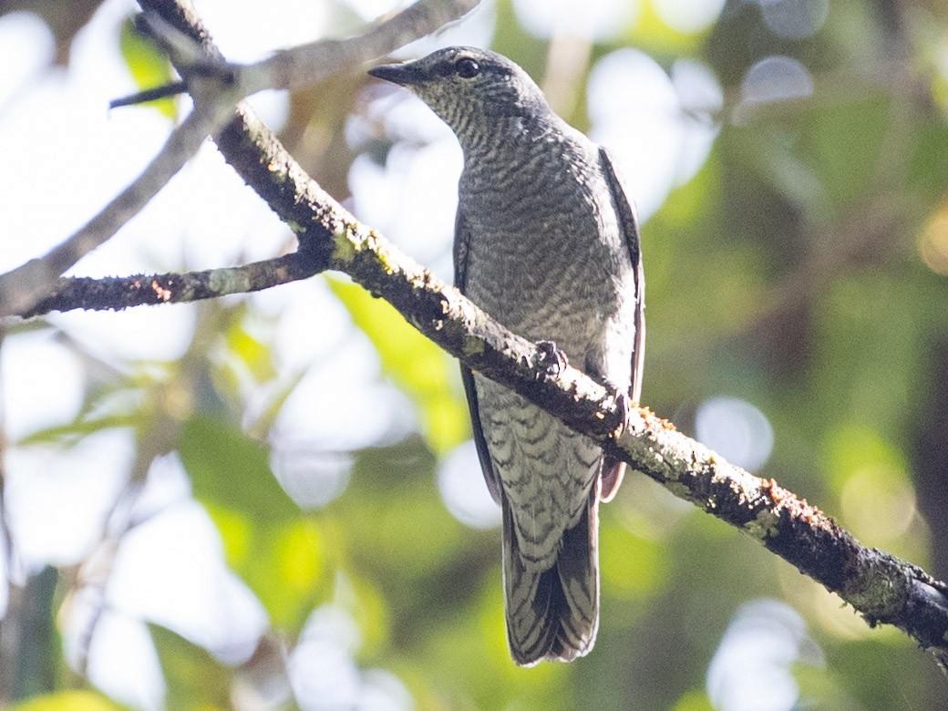 Lesser Cuckooshrike - Ian Davies