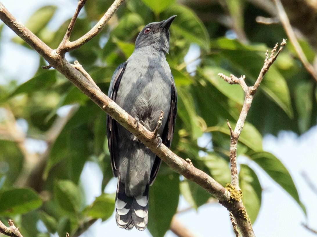 Lesser Cuckooshrike - Wich'yanan Limparungpatthanakij