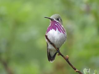 - Calliope Hummingbird