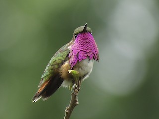 - Wine-throated Hummingbird