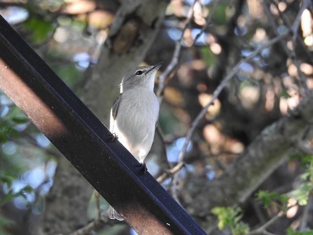 Ashy Flycatcher (presumed subspecies <em>impavida</em>).