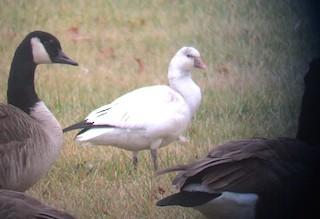 Ross's Goose, ML22200701