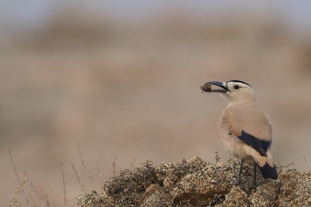 Mongolian Ground-Jay