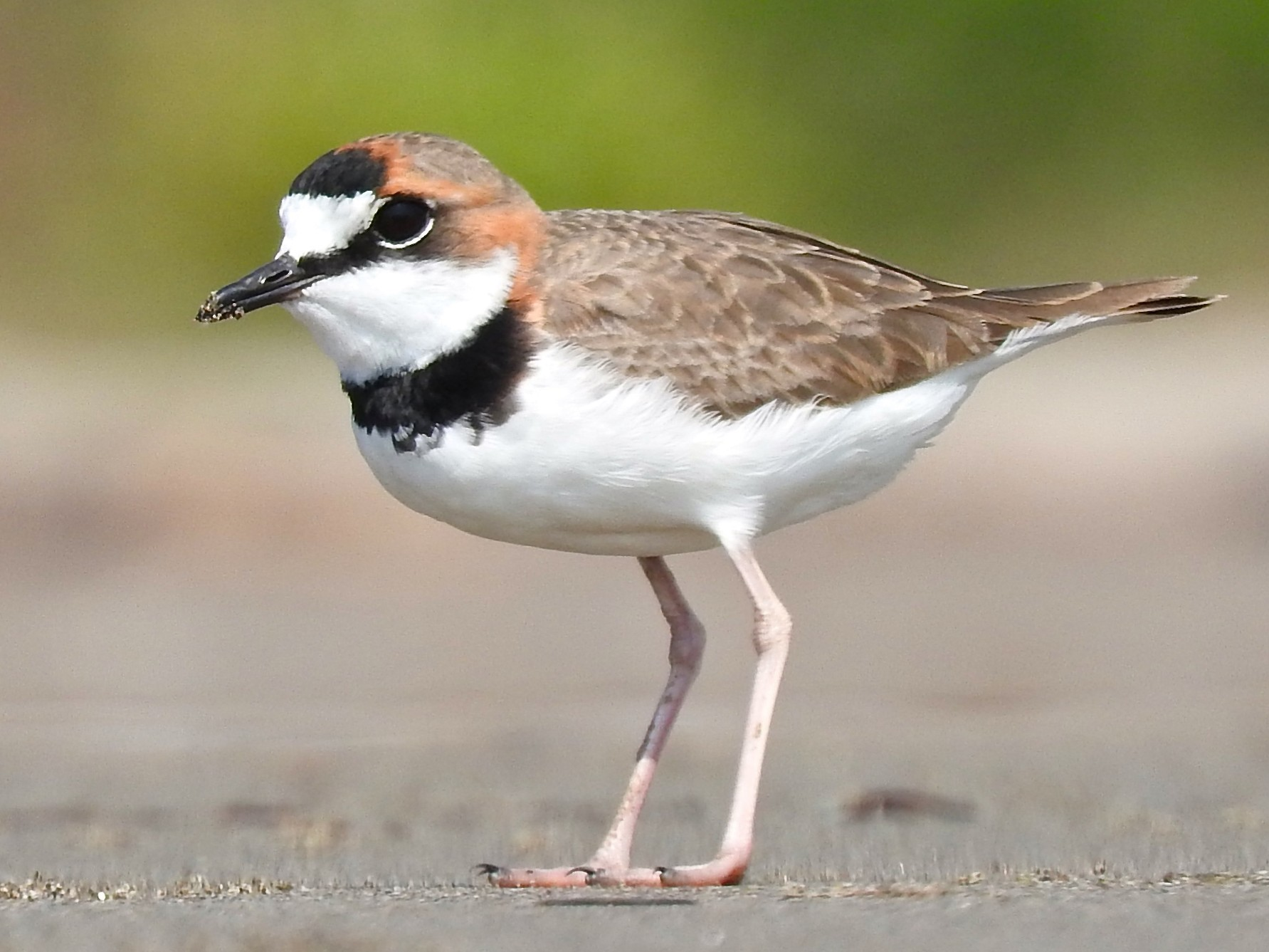 Collared Plover - Cole Gaerber