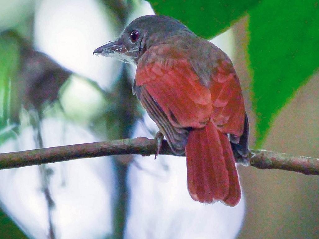 Rufous-winged Philentoma - Kai Soon Chan